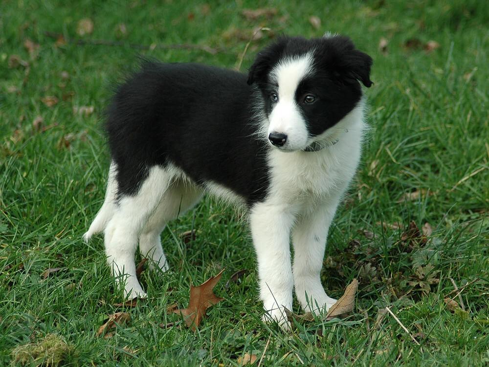 cute Border Collie