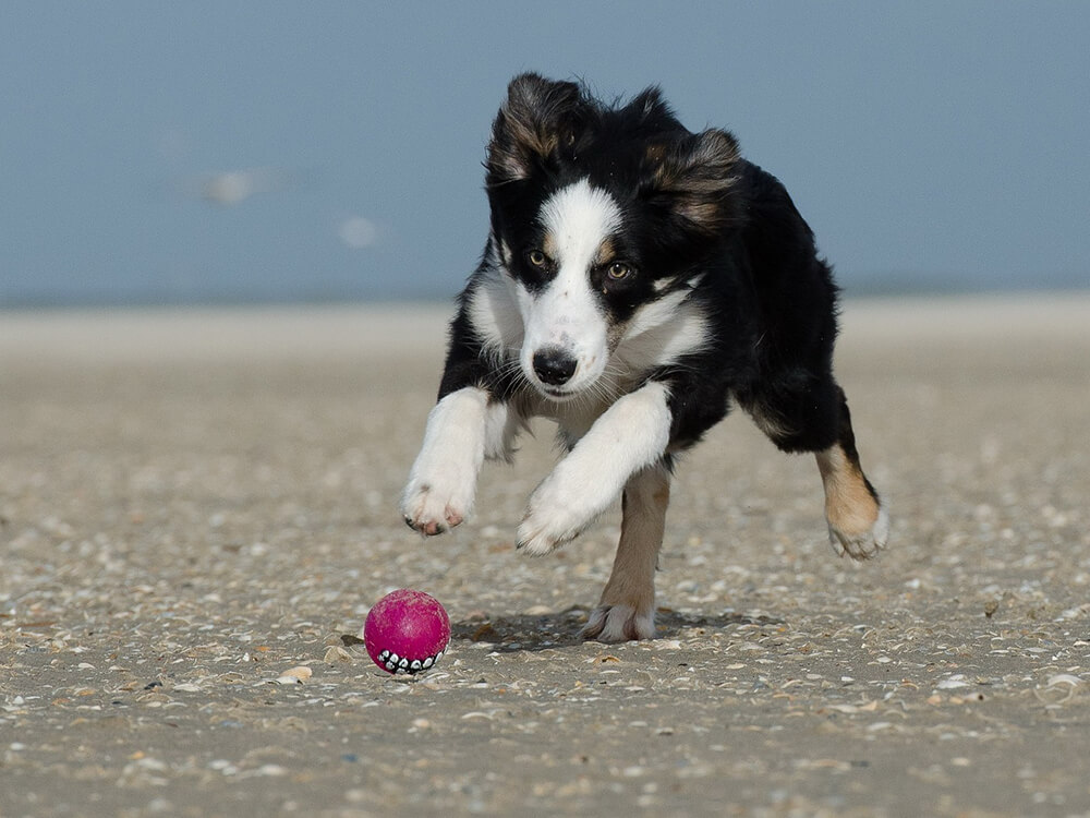 Border Collie Puppy running