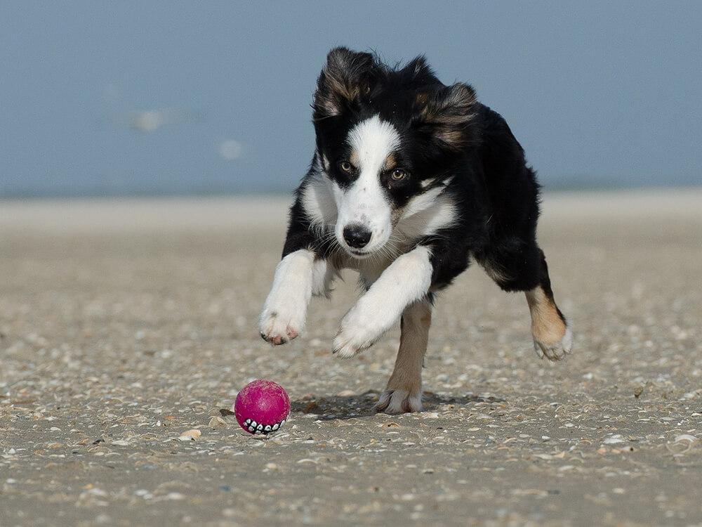Border Collie Puppy running