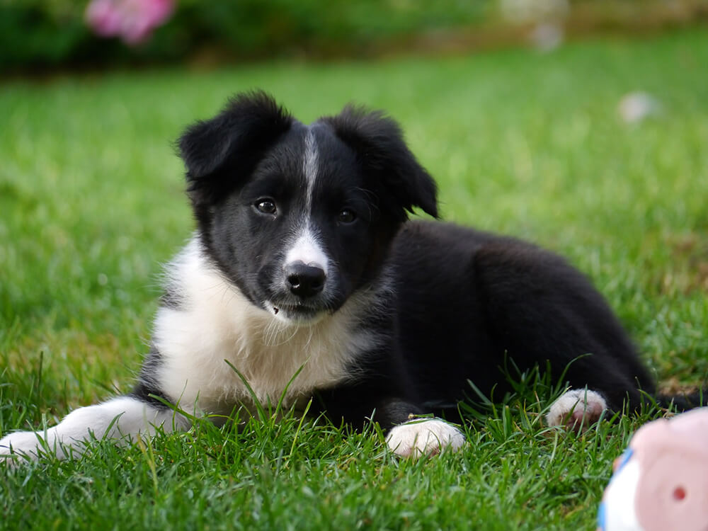 Border Collie Puppy in the grass