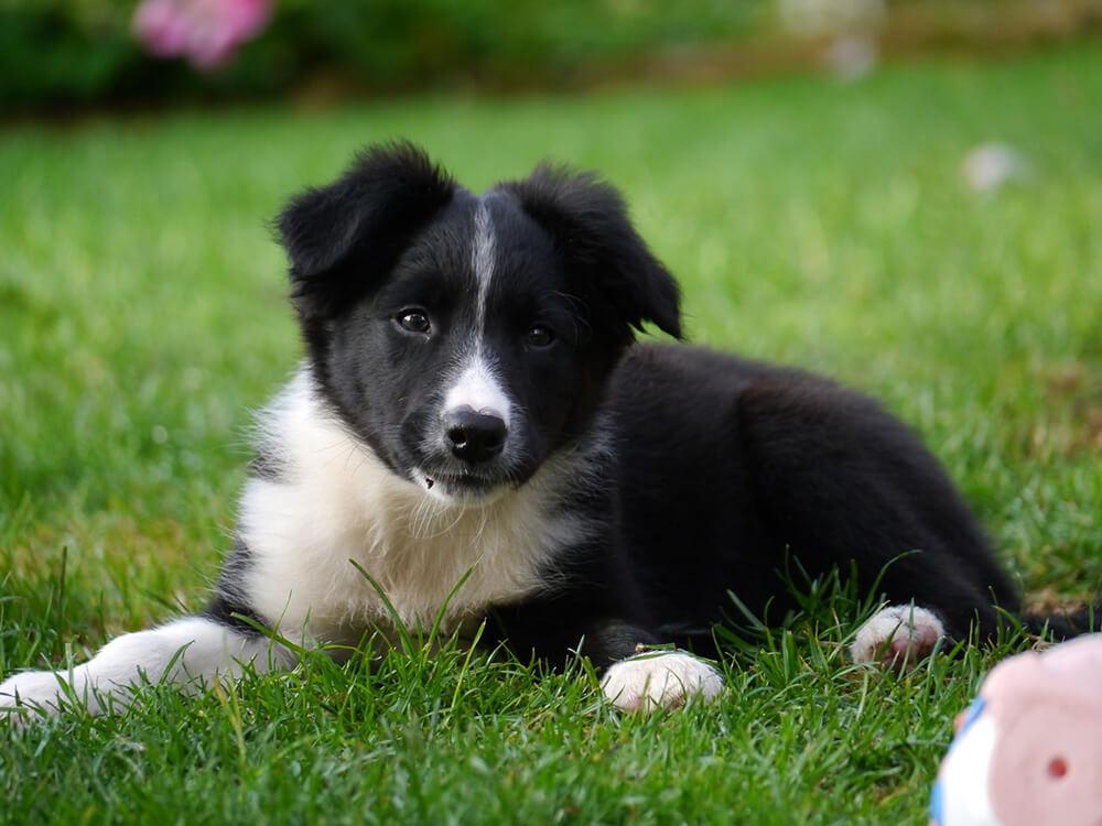 Border Collie Puppy in the grass