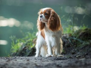 Care for a Cavalier King Charles Spaniel