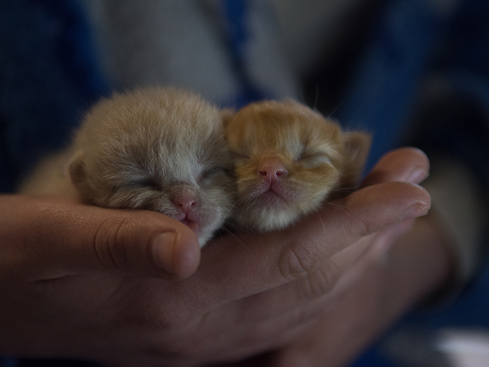 cute persian kittens