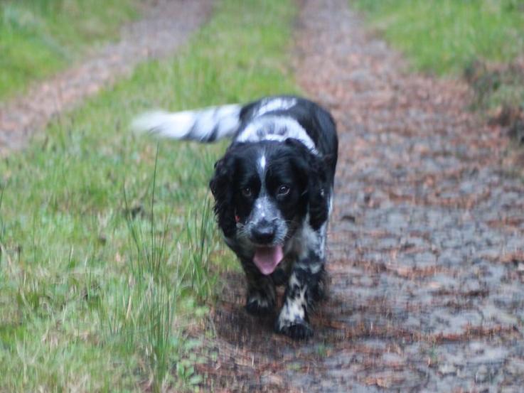 sprocker dog walking