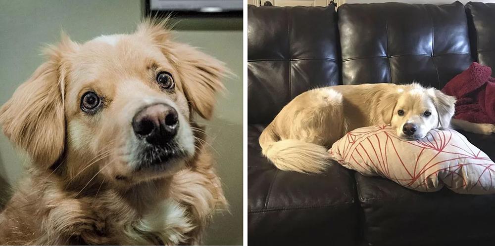 Australian Shepherd + Golden Labrador + Cocker Spaniel
