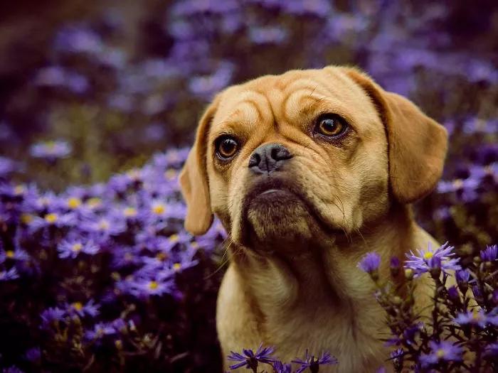 Beagle + Pug