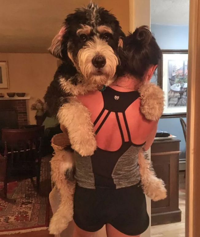 Bernese Mountain Dog-Standard Poodle