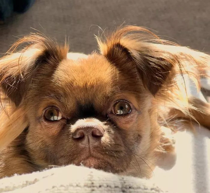 Chihuahua + Pug