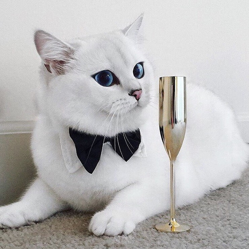 coby the famous british shorthair
