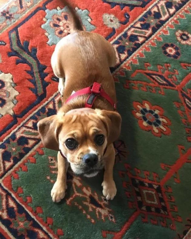 Cocker Spaniel + Pug
