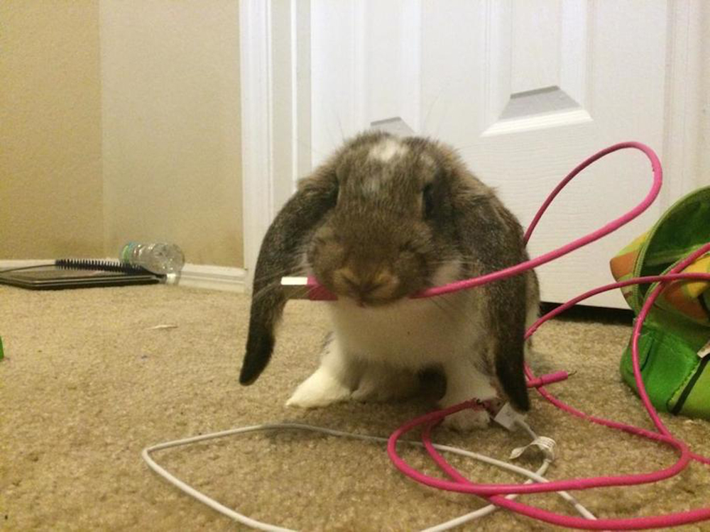 Destructive Behaviour bunny eats usb wire