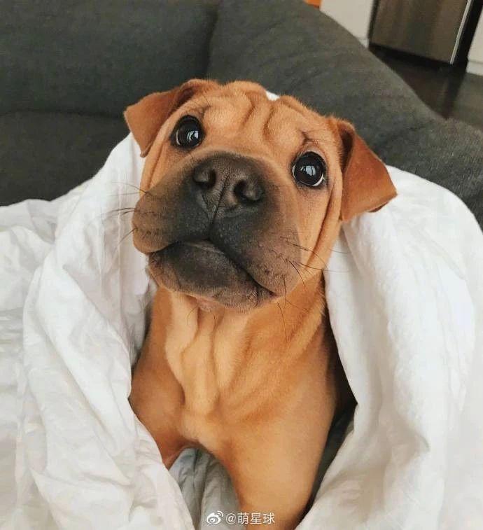 French Bulldog + Shar Pei