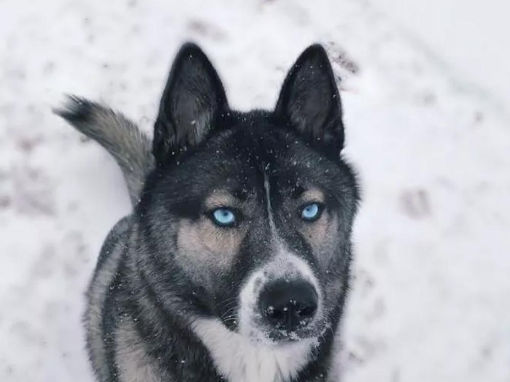 German Shepherd-Husky