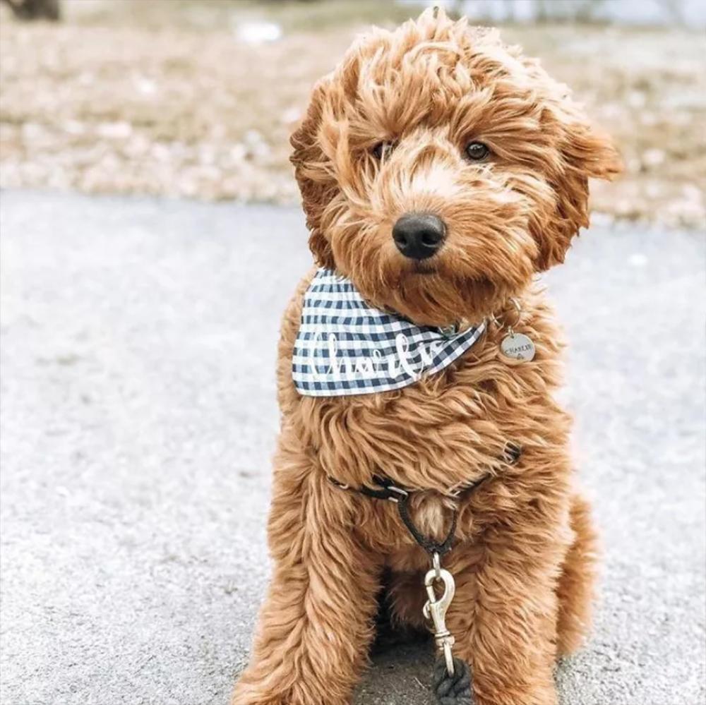 Golden Retriever-Standard Poodle