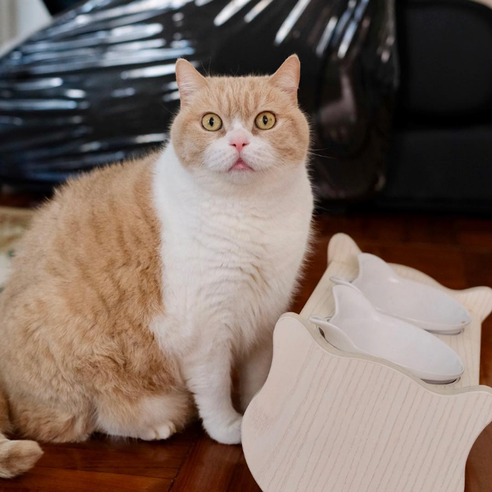 the famous british shorthair brother cream