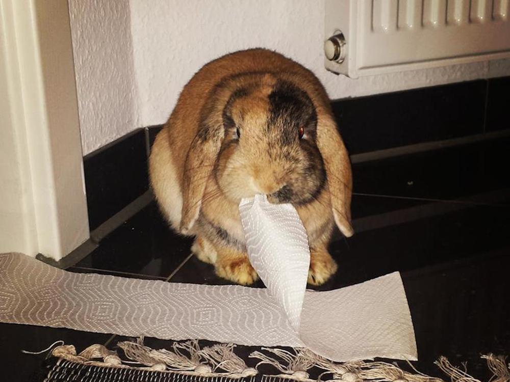 bunny eats tissue