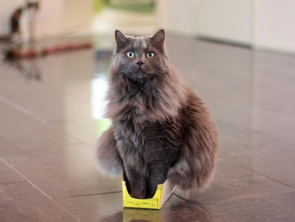 cat in the small box