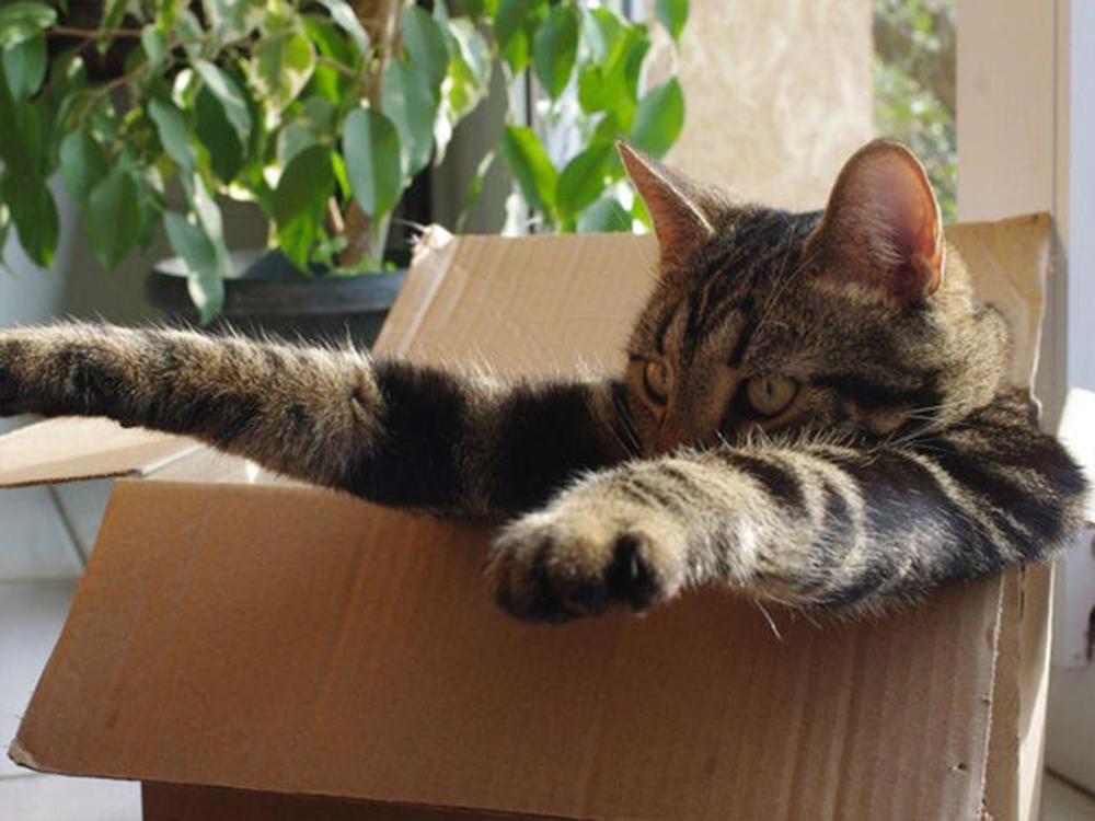 cat inside the box