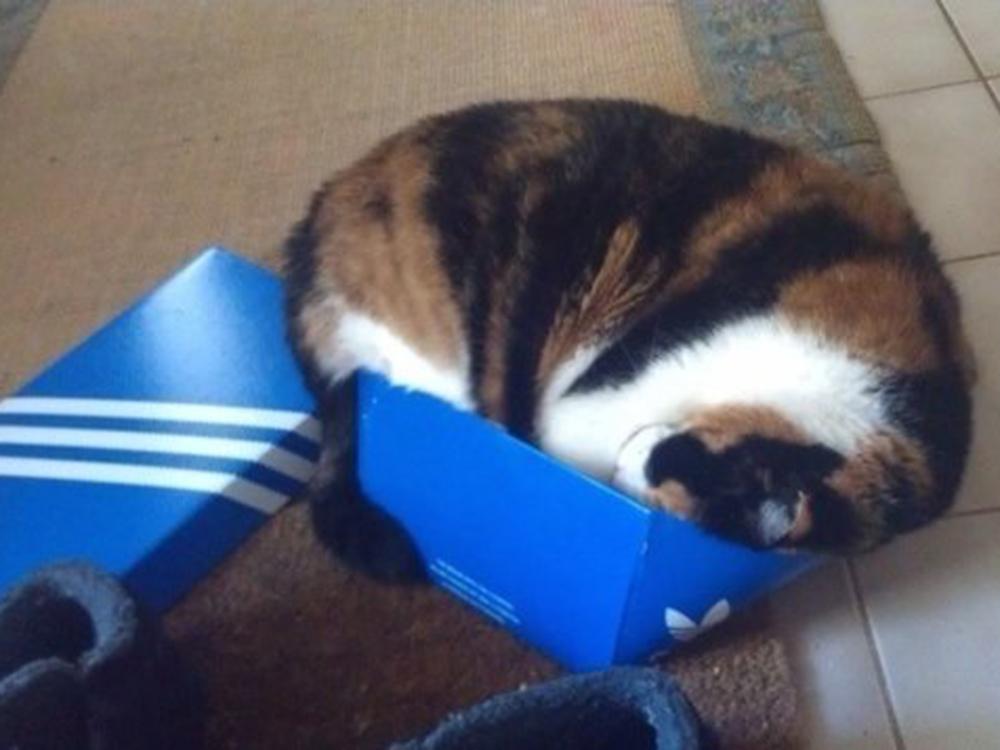 cat inside the shoebox