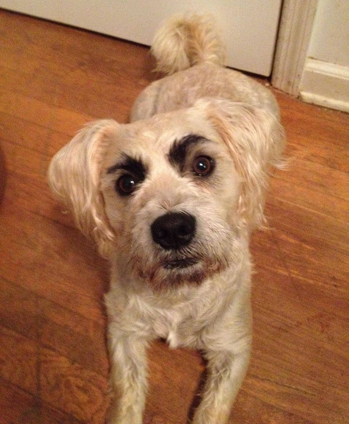 dog looking at you with eyebrows