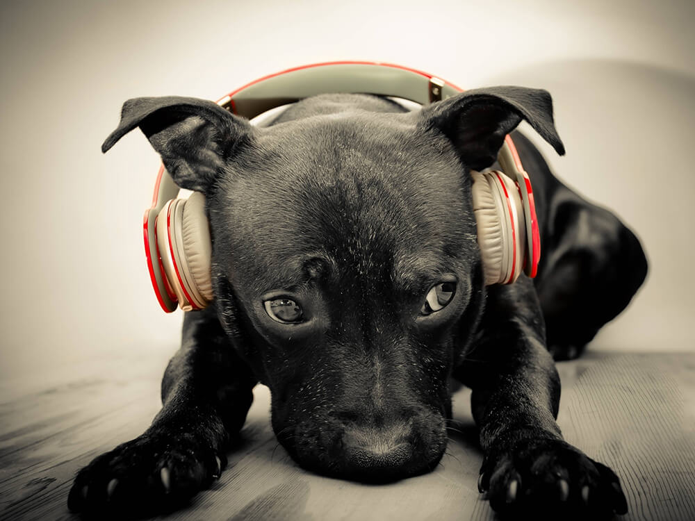 dog wearing headset to cover his ears
