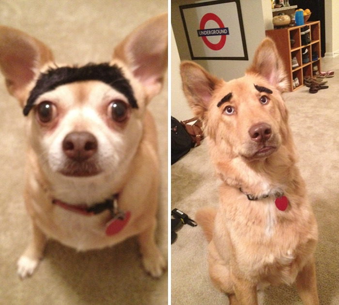 funny-dogs-with-eyebrows