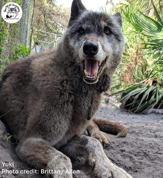 yuki the wolfdog