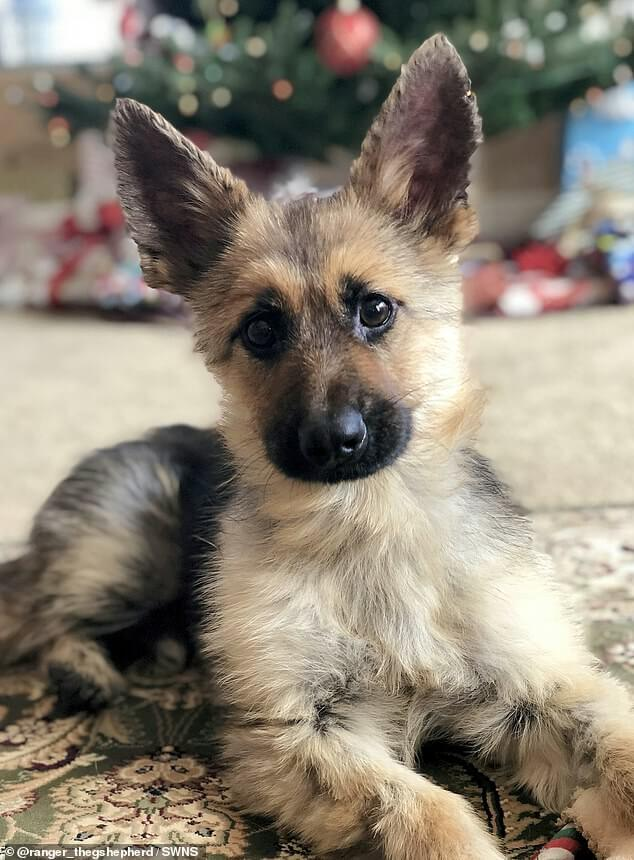 small german shepherd