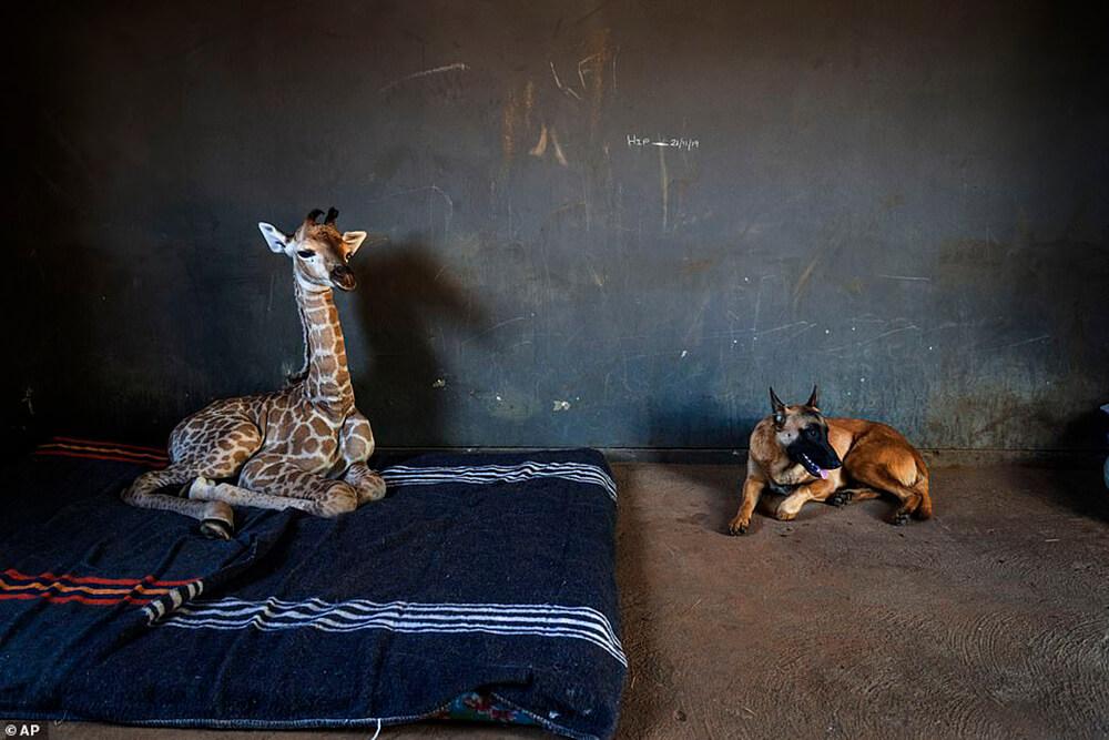 Baby Giraffe and dog