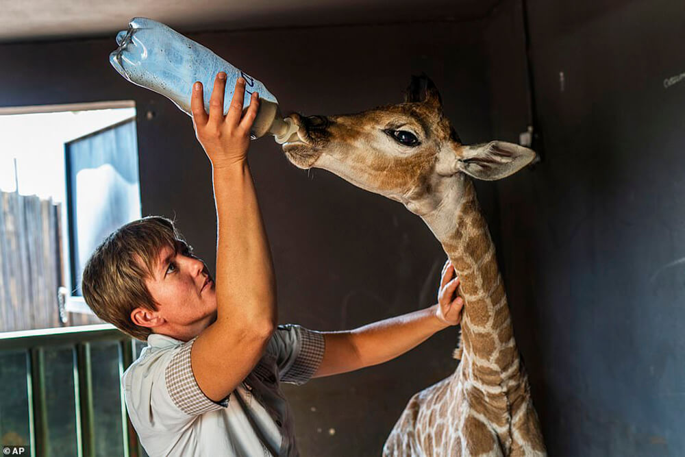 Baby Giraffe drink milk