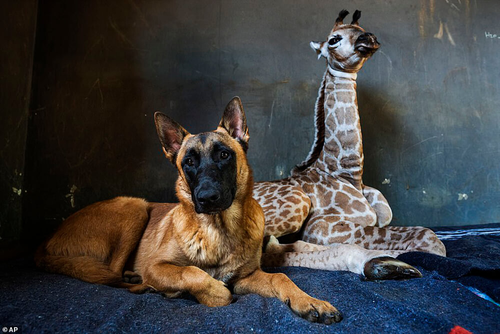 Watchdog Befriends an Orphaned Baby Giraffe