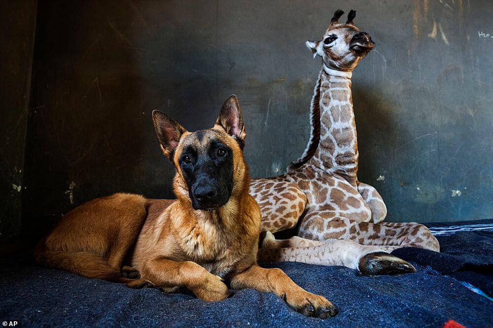Jazz the baby giraffe and dog