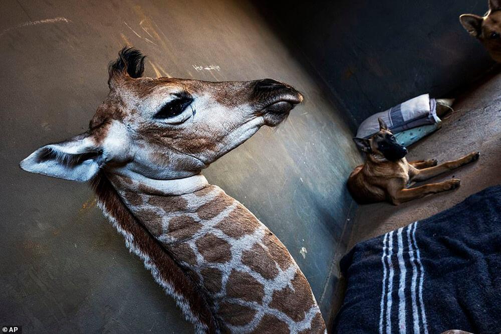 Orphaned Baby Giraffe