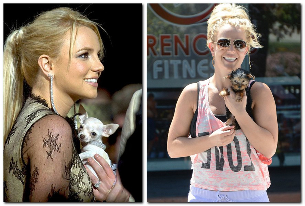 britney-spears-chihuahua