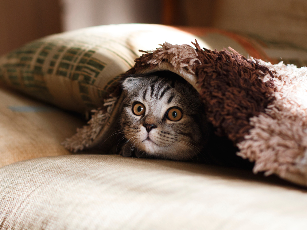 cat under the pillow