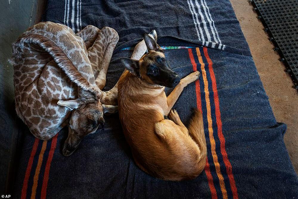 dog and Baby Giraffe
