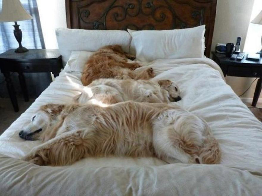 dog sleeping in the human beds