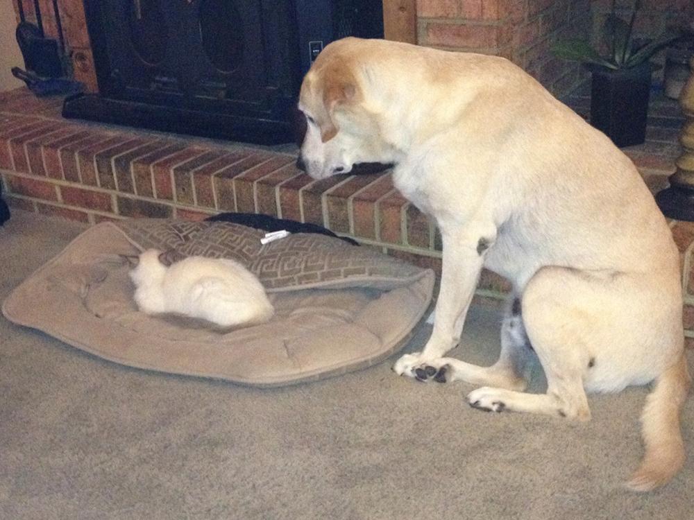 Dog look at the kitten sleep at his bed