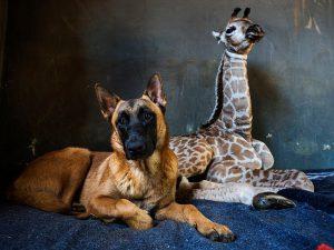 Watchdog Befriends an Orphaned Baby Giraffe