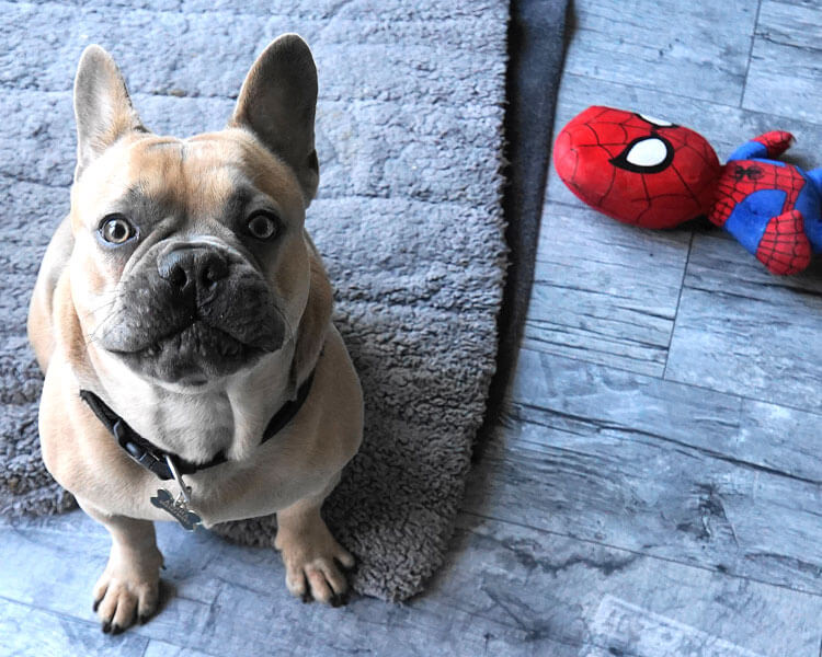 basic commands for french bulldog training