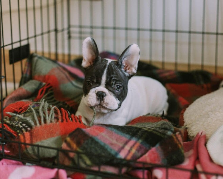how to train a french bulldog puppy