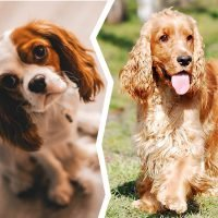 Cavalier King Charles Spaniel vs Cocker Spaniel