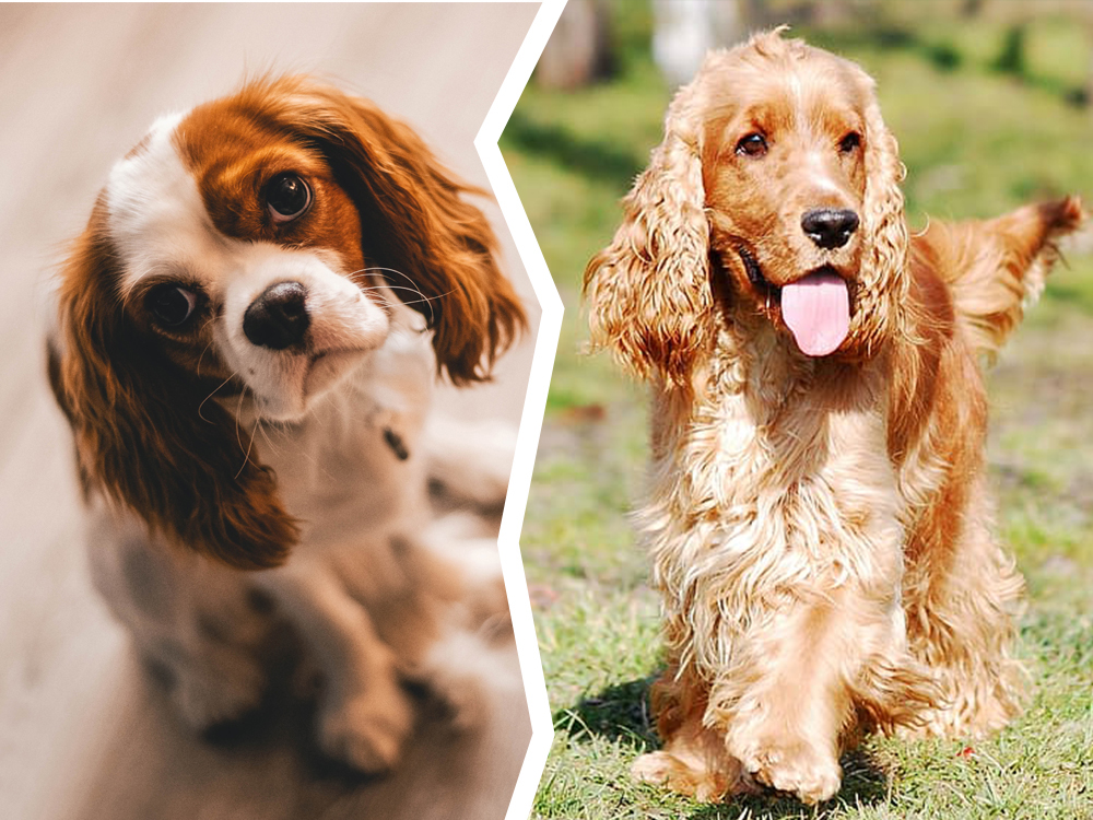 Cavalier King Charles Spaniel or Cocker Spaniel
