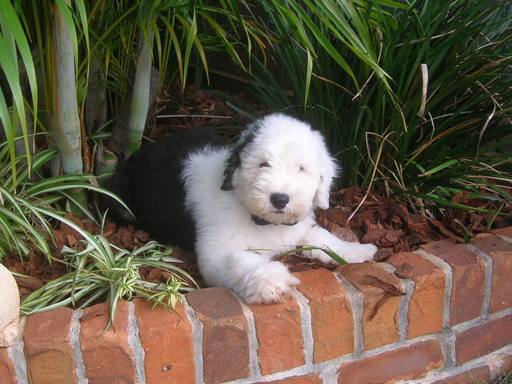 How Much is an Old English Sheepdog