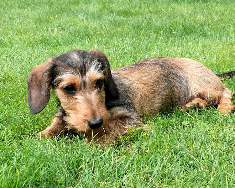 Miniature dachshund training