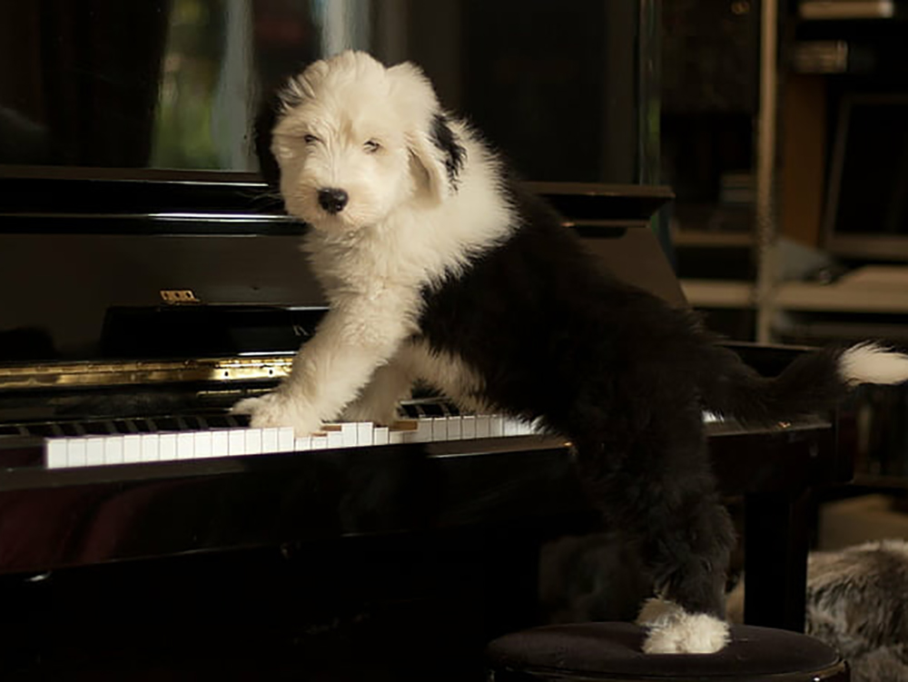 Old English Sheepdog puppy cost