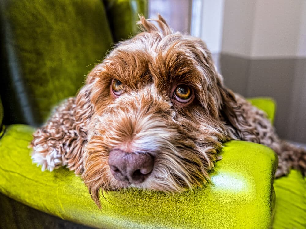 Why does a Cockapoo shed