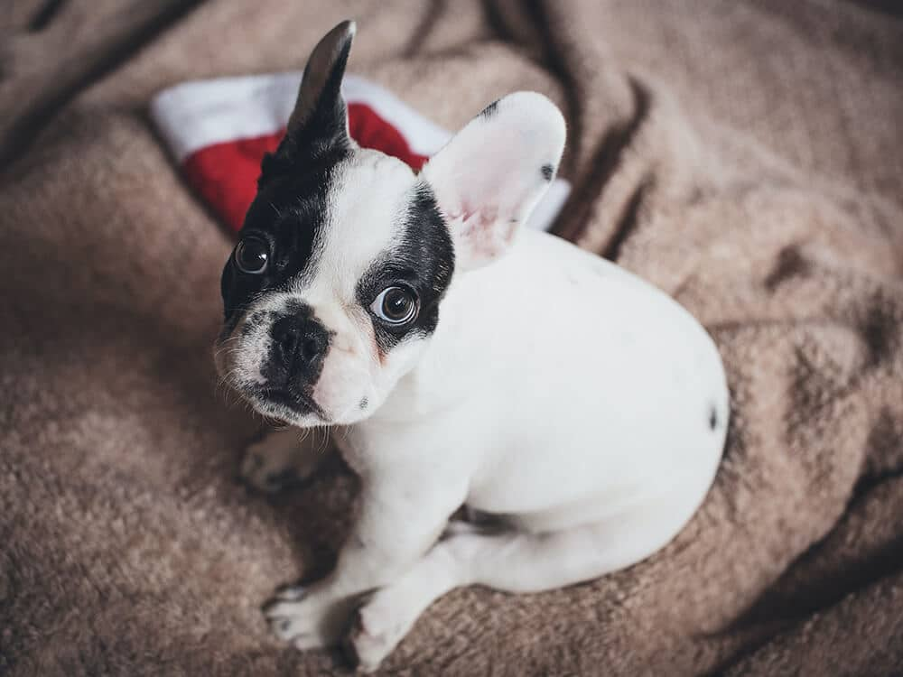 french bulldog puppies (2)