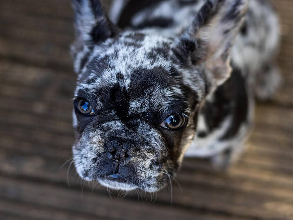 how much is french bulldog c section
