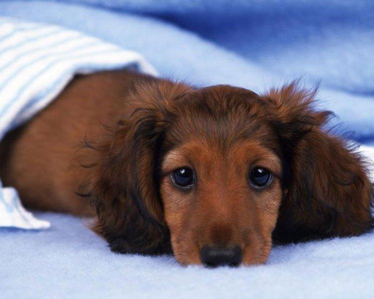 longhaired miniature dachshund